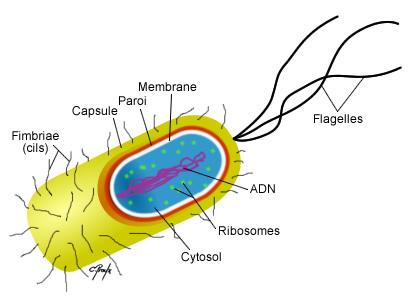 Structure de la bactérie