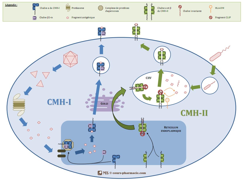 Mécanismes d'expression des molécules du CMH