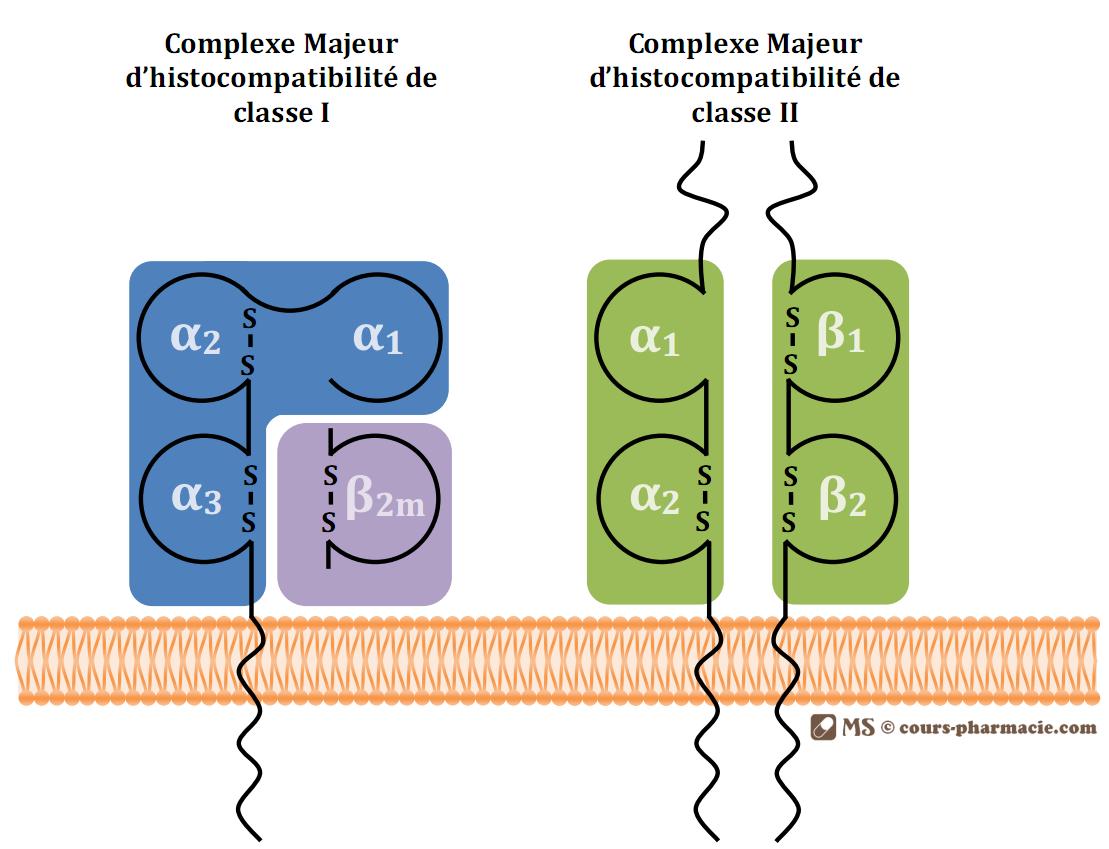 Structure des molécules des complexes majeurs d'histocompatibilité