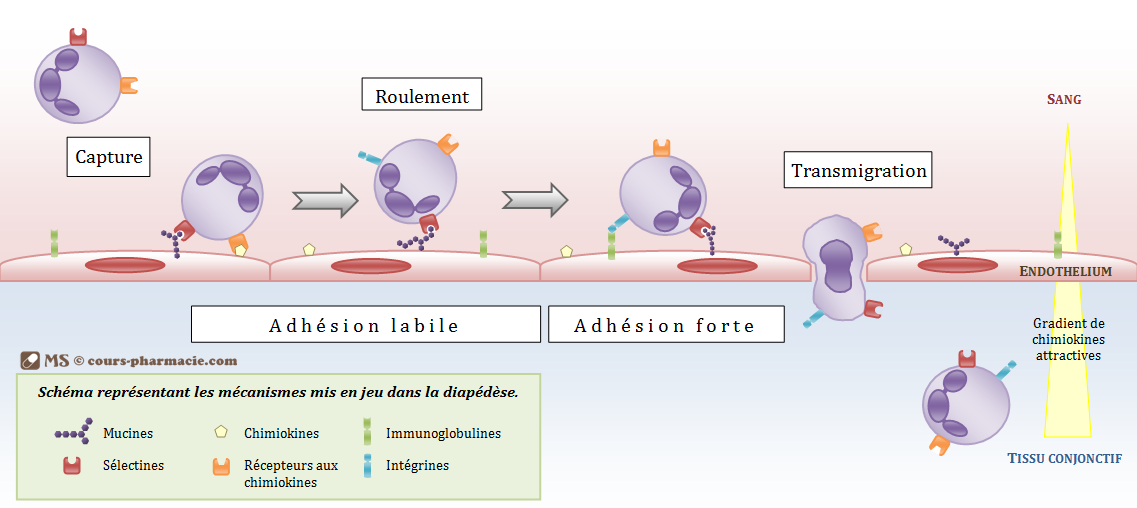 Mécanisme de la diapédèse