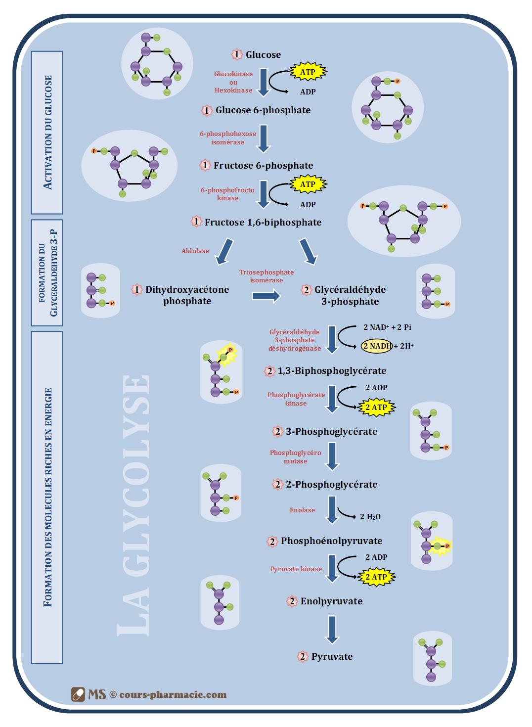 Schema metabolisme glucidique