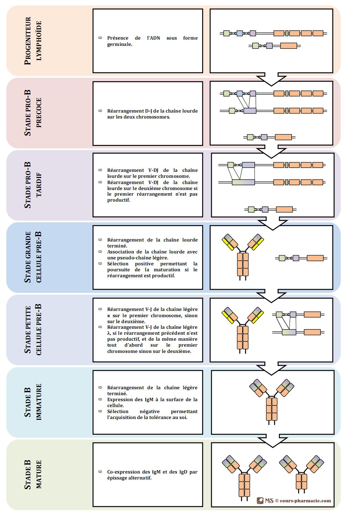 Mécanismes de la maturation des LB
