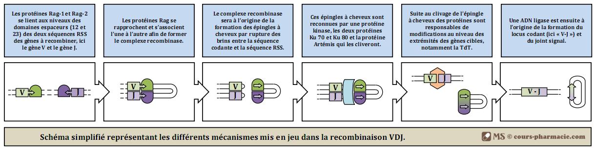 Les mécanismes de la recombinaison VDJ