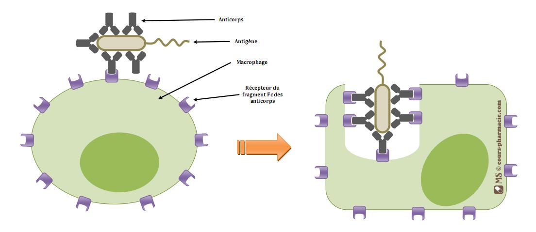 Phagocytose & opsonisation