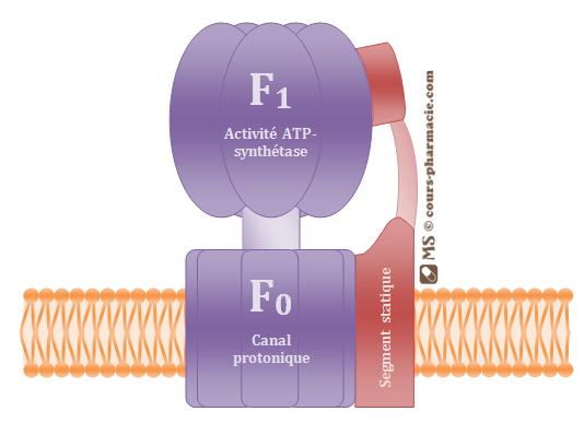 L'ATP synthétase