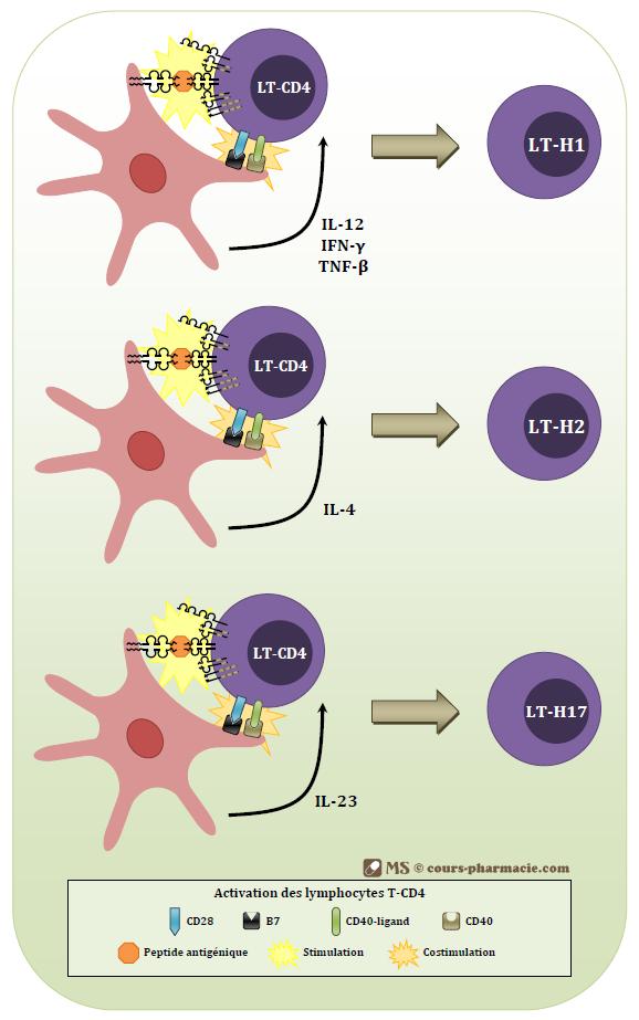Activation et différenciation des LT-CD4