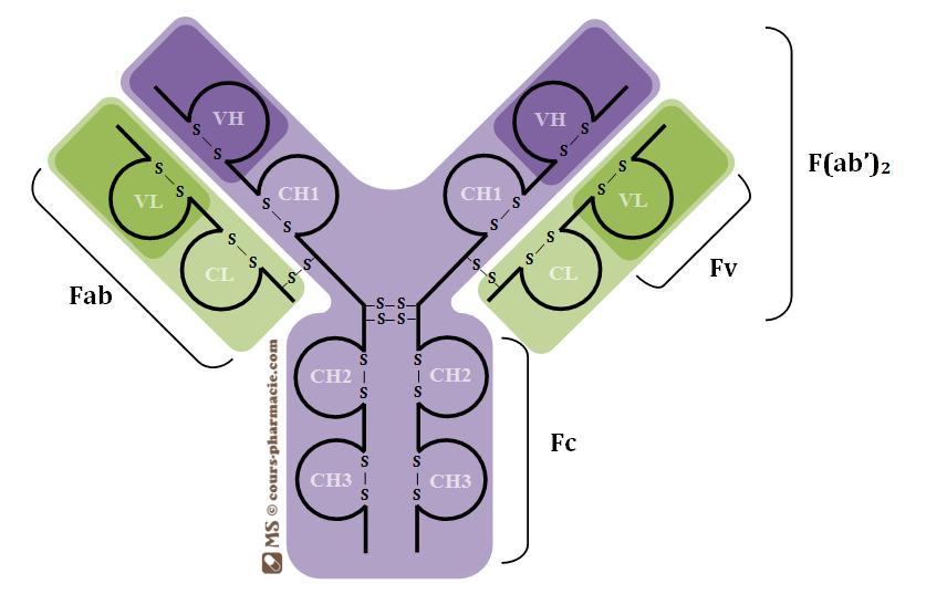 L'anticorps : chaîne lourde et chaîne légère