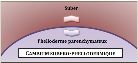 Cambium subero-phellodermique