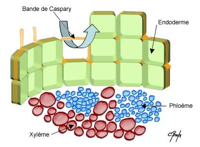 Structure de l'endoderme & Cadres de Caspary