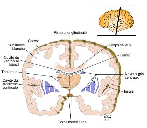 Coupe histologique du cerveau