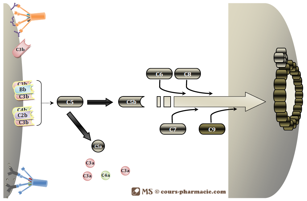Formation du complexe d'attaque membranaire