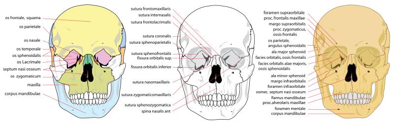 Les os du crâne - face antérieur