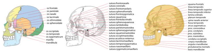 Les os du crâne - face latérale