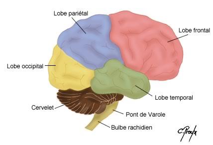Structure de l'encéphale
