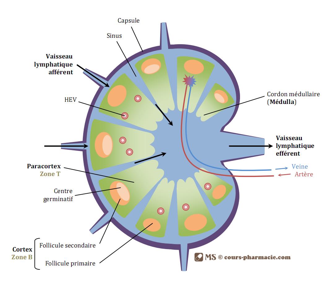 Le ganglion lymphatique