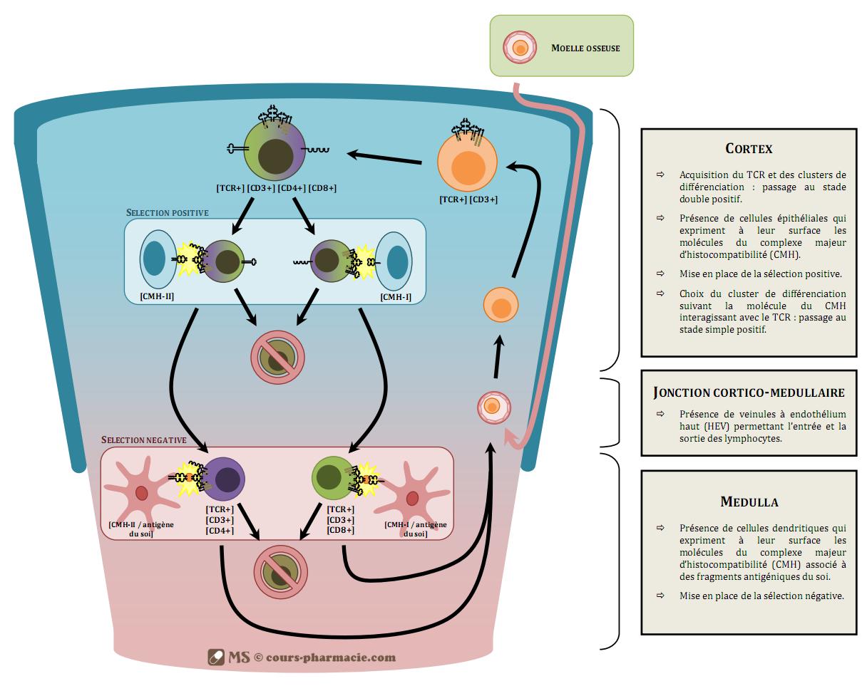 Ontogénèse des lymphocytes T