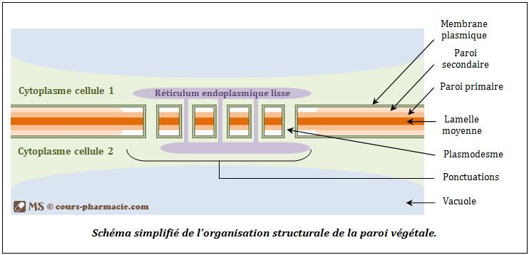 Structure de la paroi végétale