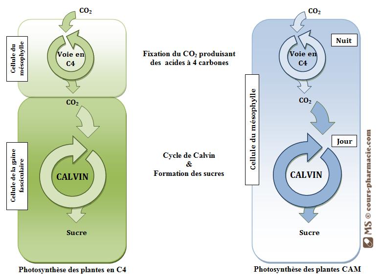 Mécanismes photosynthétiques des plantes en C4 & CAM