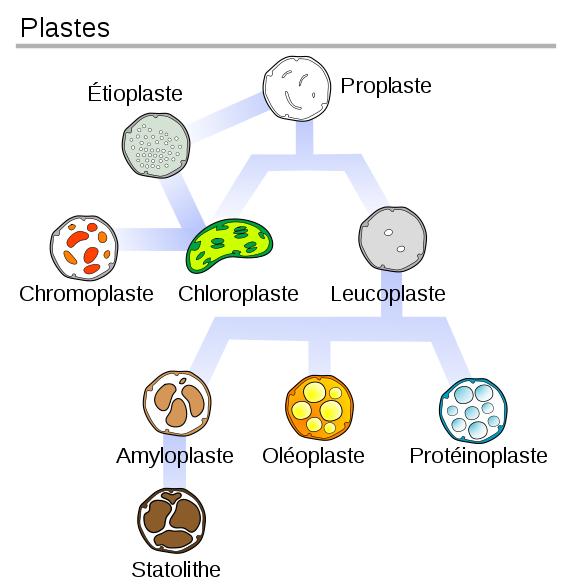 Les différents types de plastes