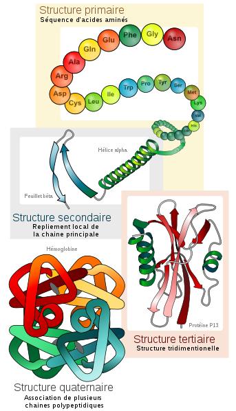Niveaux de structure des protéines