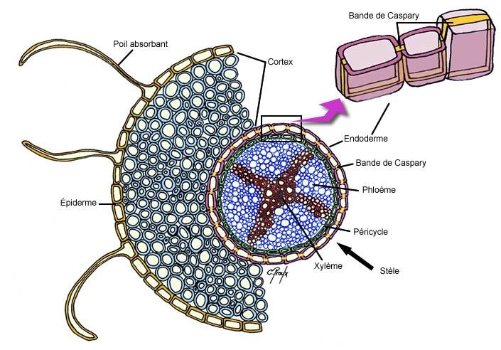 Structure de la racine