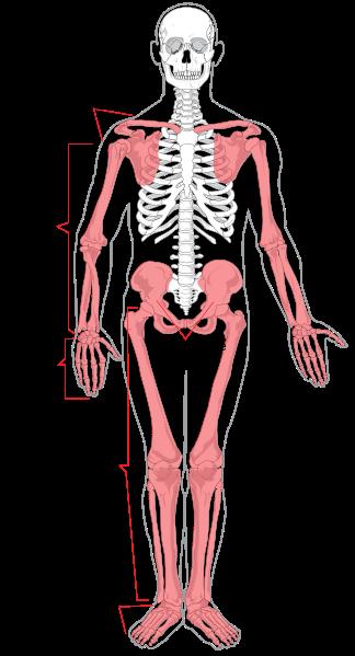 Le squelette appendiculaire