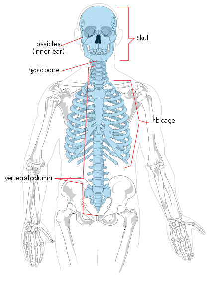Le squelette axial