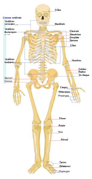 Le squelette - face antérieure