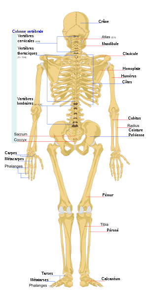 Le squelette - face postérieure