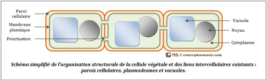 Structure de la cellule végétale et liens intercellulaire