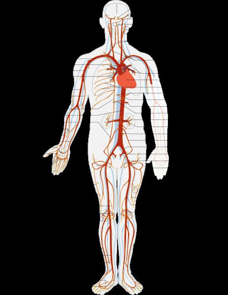 Le système artériel