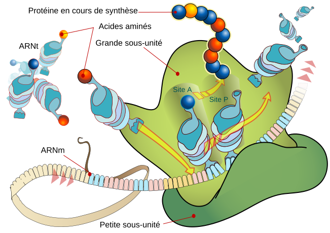 Traduction de l'ARN messager en protéine par les ribosomes