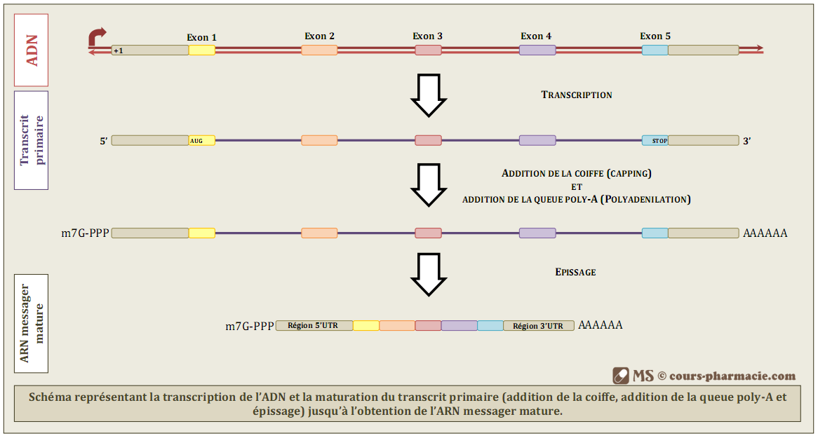 Transcription de l'ADN & maturation du transcrit primaire
